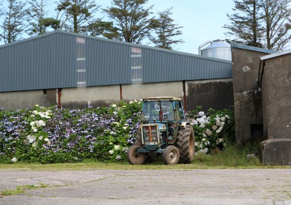 Old tractor stat in front of a hydrangea hedge with a farm shed behind